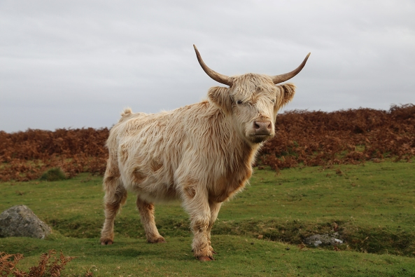 Long haired cow majestic sm